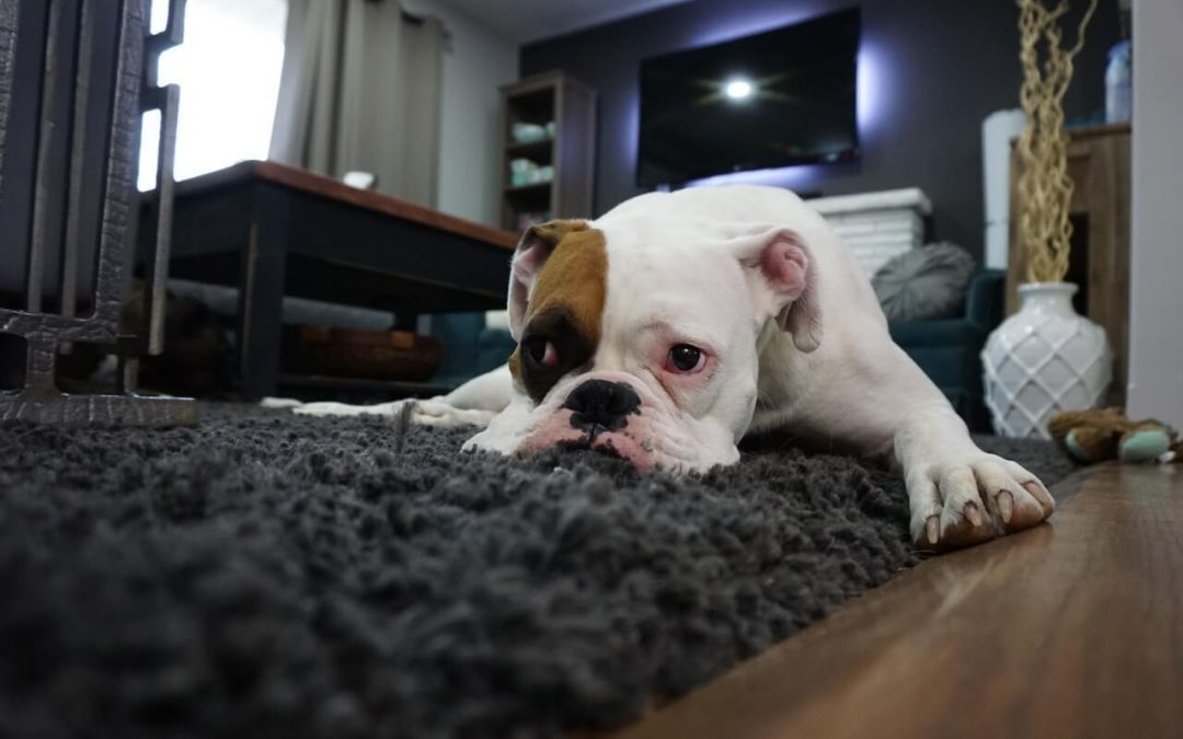 Remove Those Stubborn Pet Stains from Your Carpet Now!